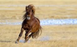 Монгол адууны угшил хамгийн тэсвэр хатуужилтайг эрдэмтэд тогтоов