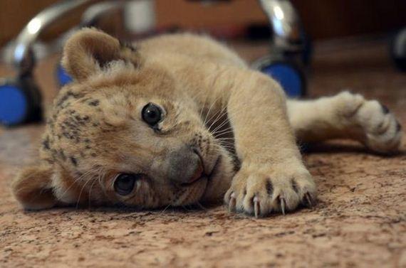 Хамгийн анхны арслан, барын эрлийз