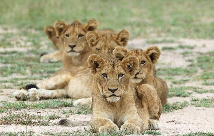 Эрдэмтэд Африкийн арслангуудыг тоолжээ