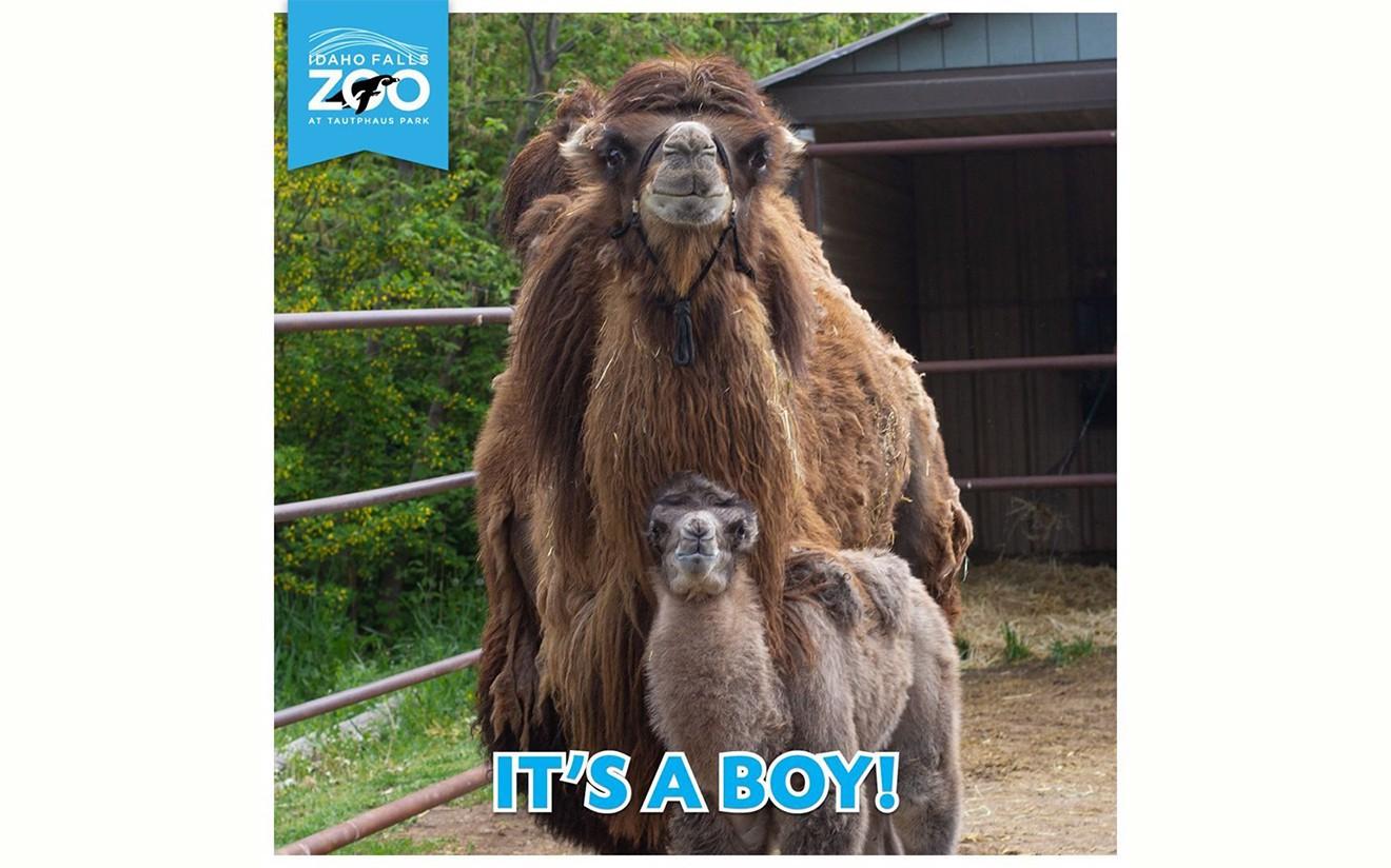 Америкийн амьтны хүрээлэнд төрсөн монгол тэмээний ботгонд нэр хайж байна