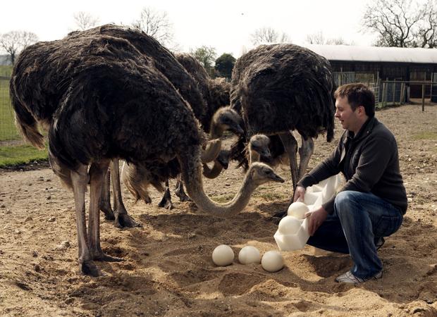 Тэмээн хяруулын өндөг маш бат бөх хальстай