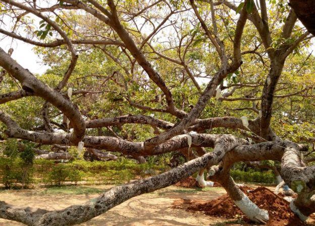 """700 жилийн настай модыг аврахаар """"дусал"""" залгажээ"""