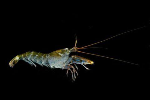 Pistol Shrimp хэмээх нэгэн сам хорхойн тухай маш сонирхолтой нэгэн нээлт