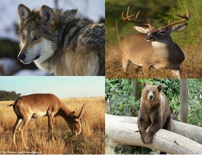Саарал чоно, монгол бөхөн, буга, баавгайн эд эрхтэний хууль бус худалдаа их байна