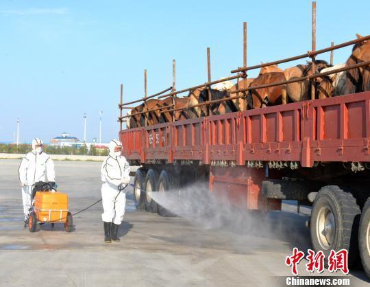 377 монгол морь Хятад улсад нутагших боллоо