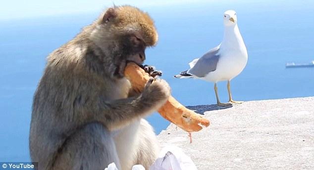 Жуулчны цүнхнээс талх хулгайлсан дэггүй сармагчин фото