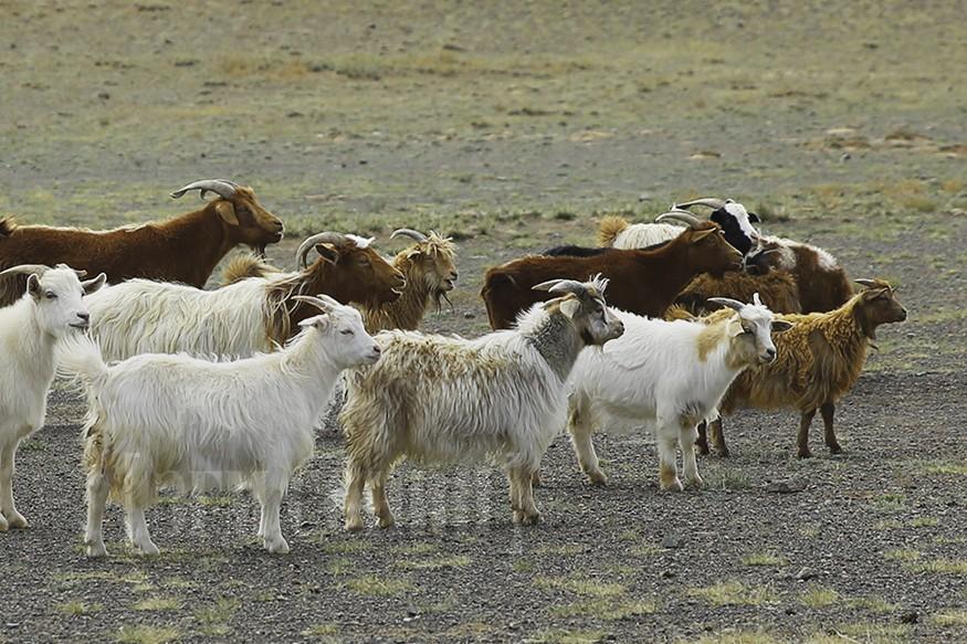 Монголын мал бэлчээргүй болох нь, яах вэ