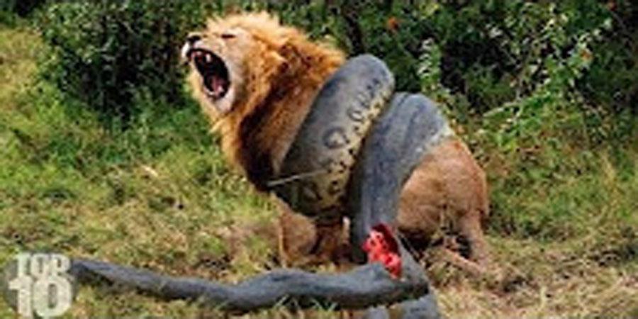 Камерт бичигдсэн амьтадын тулалдааны бичлэг