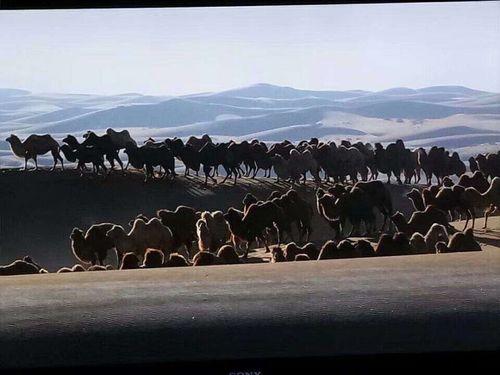 Түмэн тэмээний домог хүүрнэсэн Алшааа