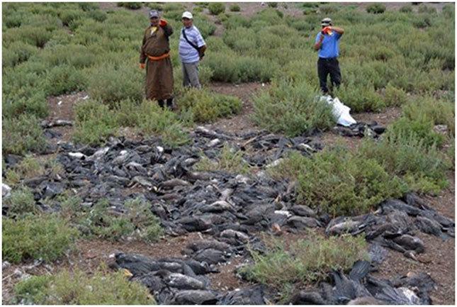 Хар галууны 3200 ангаахайг устгажээ