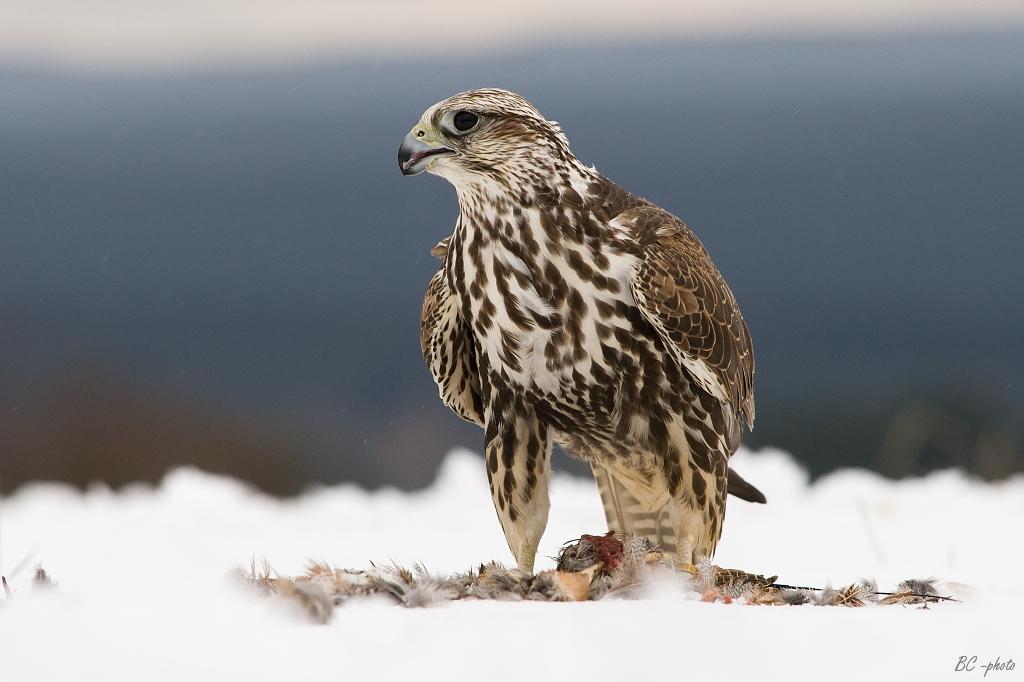 Идлэг шонхор шувууг гадаад улсад гаргахыг хориглолоо