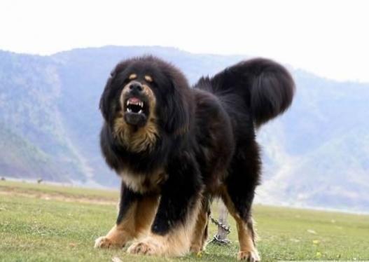 Нохойд хазуулбал галзуугийн эсрэг вакцин заавал хийлгэ