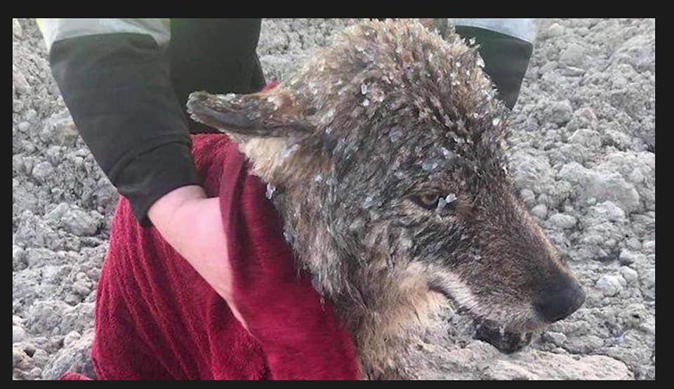 Нохой гээд чоныг аварчээ