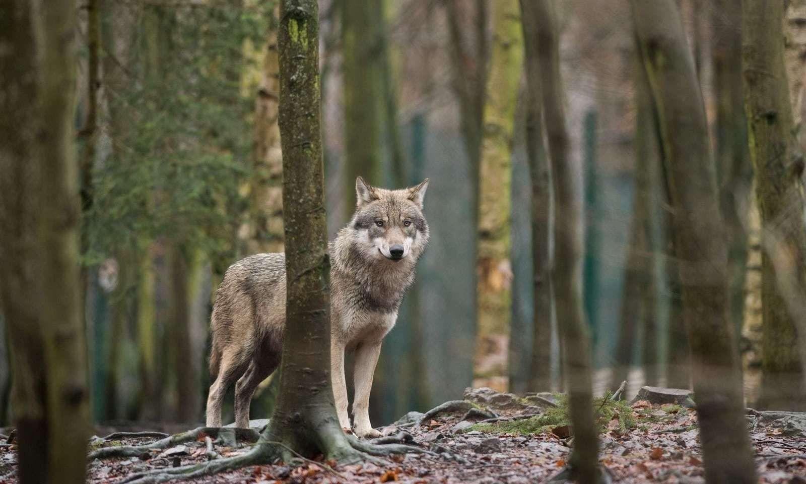 100 жилийн дараа Бельгид анхны чоно үзэгдэж, хонь авлажээ