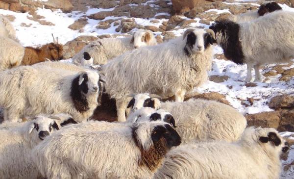 Хонины сүүл хөхөж өссөн хүүхэд өлчир чийрэг байдаг