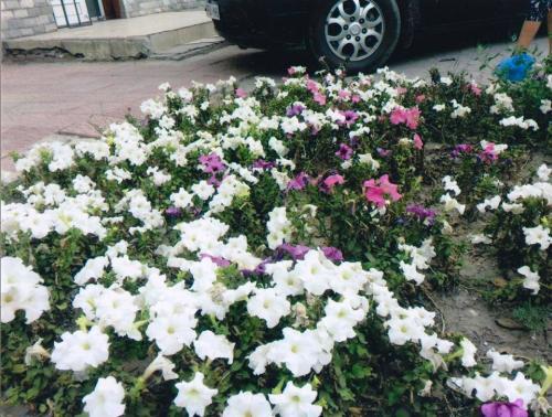 Эрхээ хасуулсан жолооч эхнэртэйгээ цэцгийн мандлыг сэргээлээ