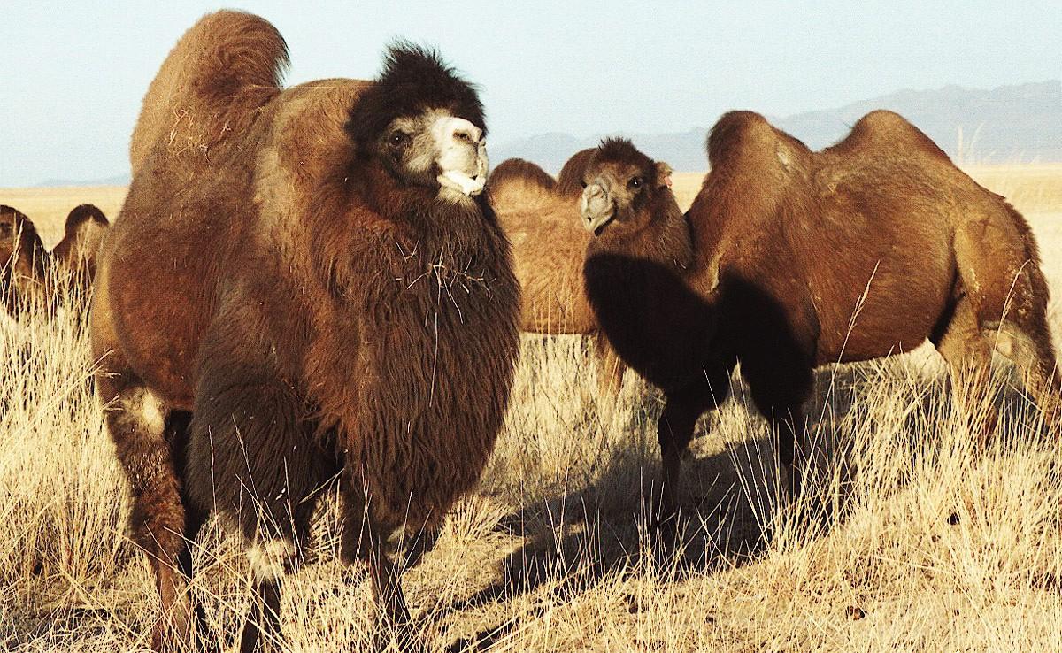 Тэмээний бөхнөөс хорт хавдрыг эмчлэх эм, бэлдмэл гаргаж эхэлжээ