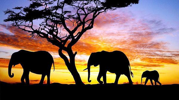 Африкийн зааны сүрэг цөөрсөөр байна