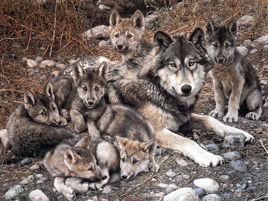 Өлсгөлөн бэлтрэгнүүдийг нь тэжээсэн залууд эх чоно нь хариу барьжээ