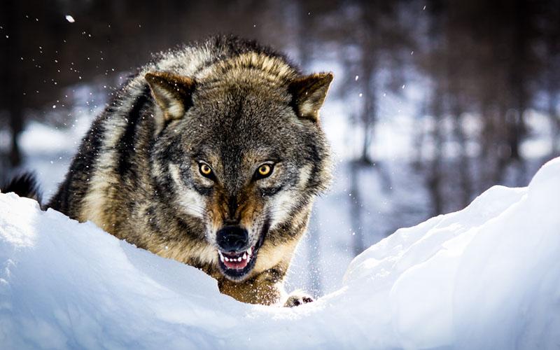 Өш санасан чоно гурван жил өөрийгөө хуягладаг