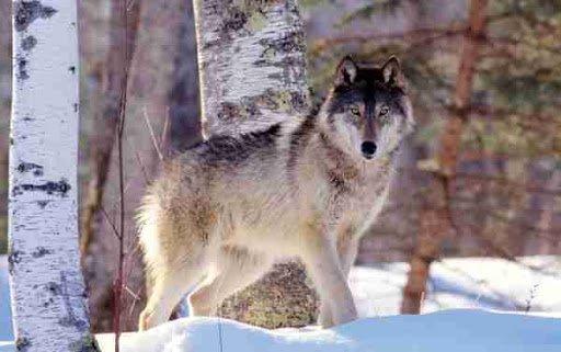 Чоно дайрахад чулуугаар цохин амиа аварчээ