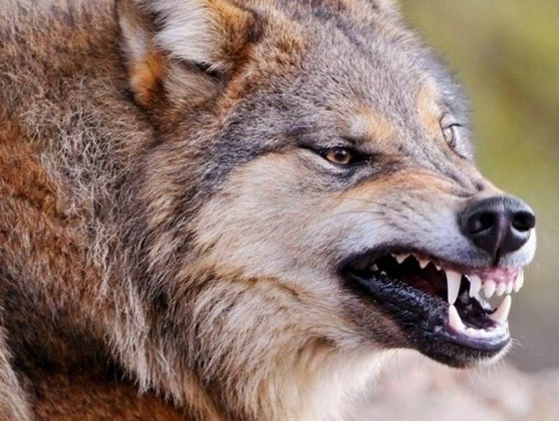 Галзуу чоно айлын хот руу дайрчээ