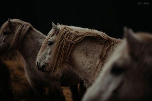 Шотландын өндөр уулан дахь пони морьд