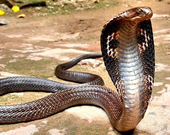 Тайланд эр 3 метр урт кобр могойтой гэрлэжээ