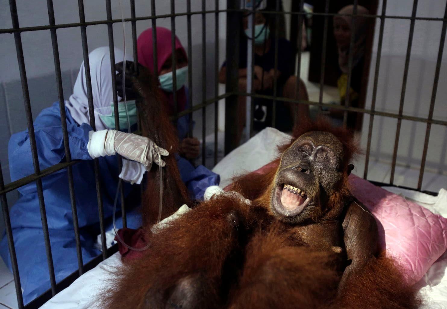 Индонез улсад 74 удаа буудуулсан орангутан амьд гарчээ