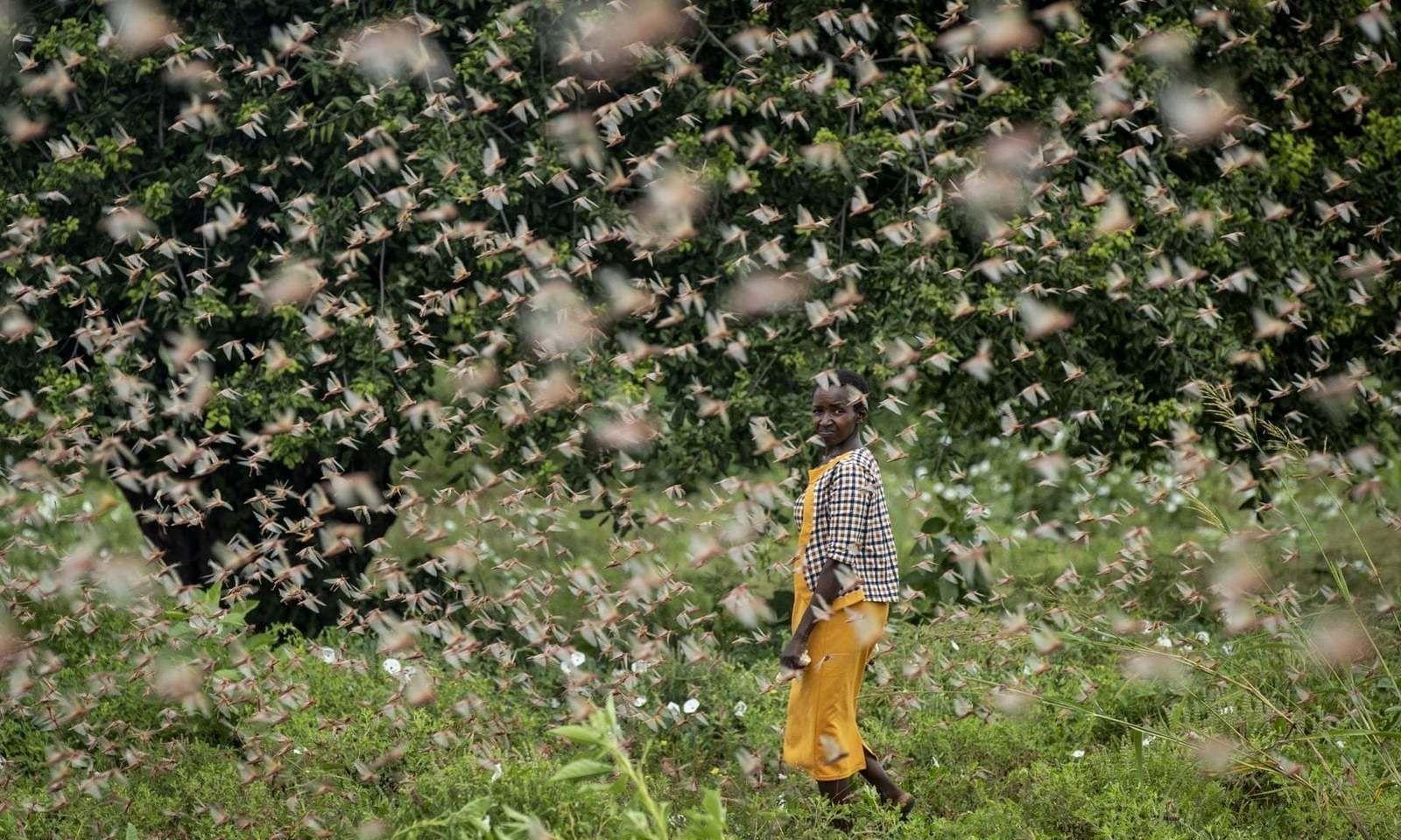 Дорнод Африкийн улсууд царцааны нүүдэлд эзлэгдээд байна
