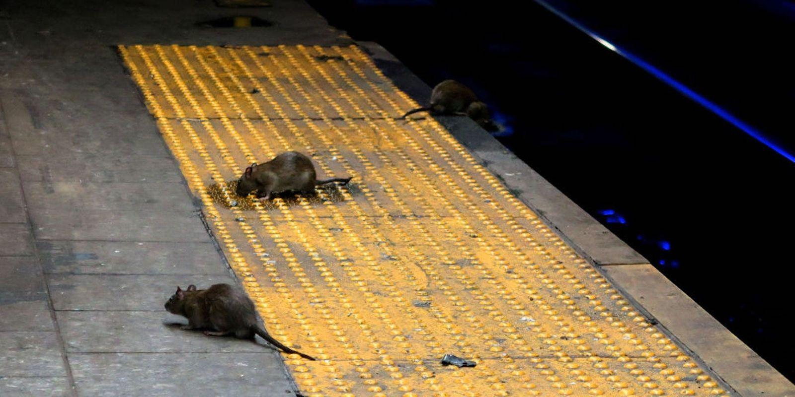 АНУ-ын хотуудад хөл хорионы улмаас хоол хүнсгүй болсон хархнууд бие биеэ барьж идэж байгааг мэдээлжээ