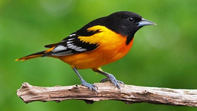 Сүүлийн 50 жилд гурван тэрбум шувуу үгүй болжээ