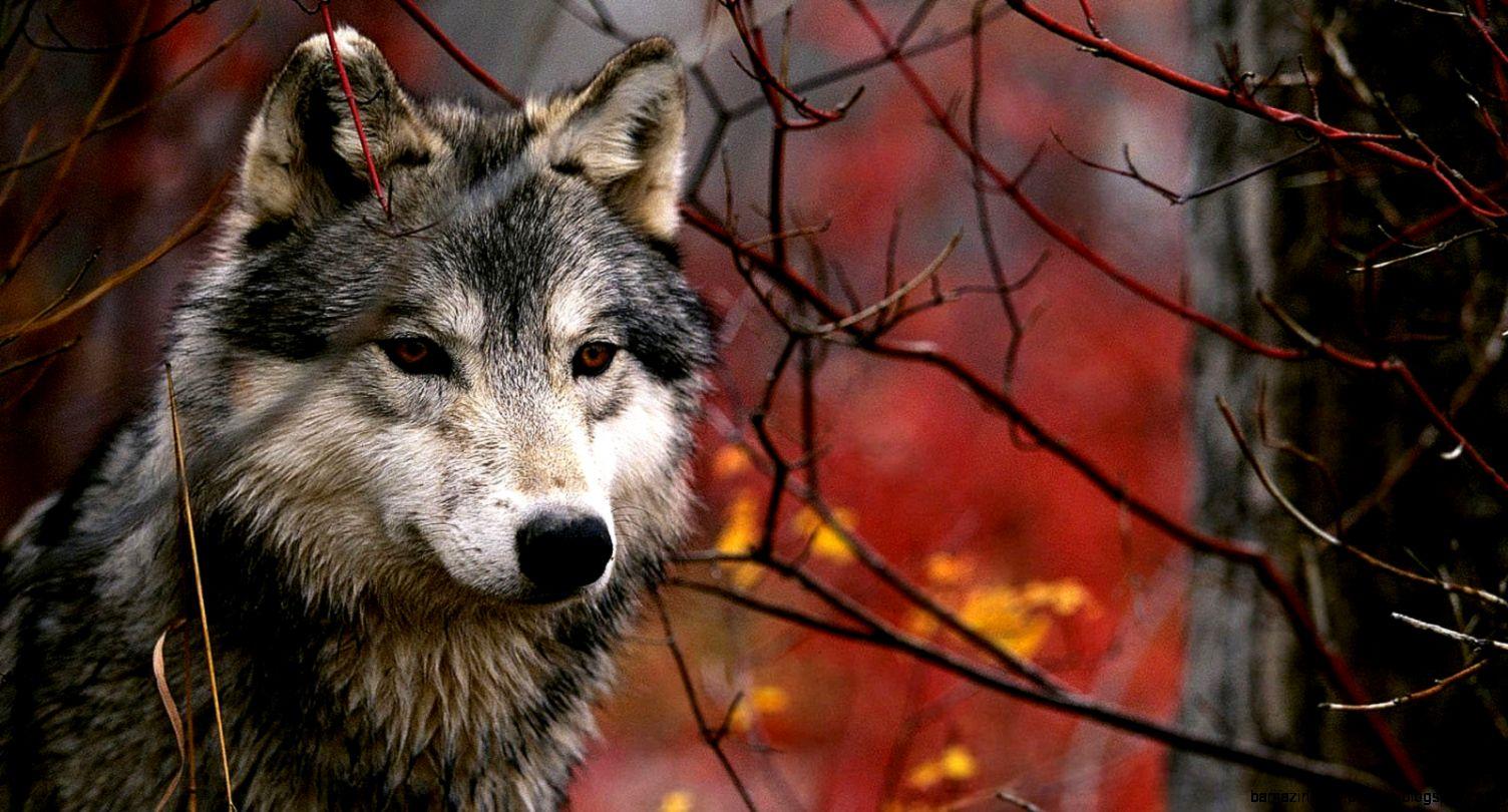 Шар Чулуутад чоно эргэн ирсэн жилүүд